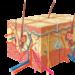 Особенности строения кожи - эпидермис