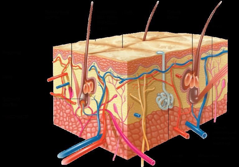 Эпидермис строение картинки