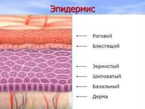Особенности строения кожи, структура эпидермиса