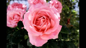 Опасные натуральные отдушки, эфирные масла, польза и вред косметики, масло розы